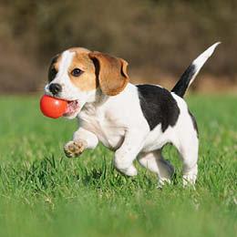 faq om kastration hvor gammel skal min hund vaere for at blive kastreret